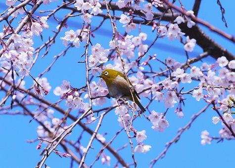 Cherry Blossoms, Spring, Flowers, Japanese White-eye