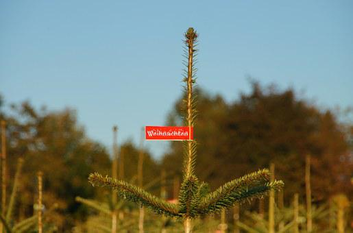 Christmas, Christmas Tree, Fir Plantation, Buy, Shield