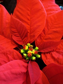 Poinsettia, Flower, Christmas, Red, Holiday, Decoration