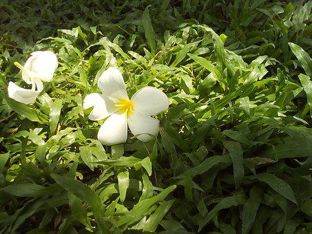Flowers, More Information, Fragrapanti, Grass, Nature
