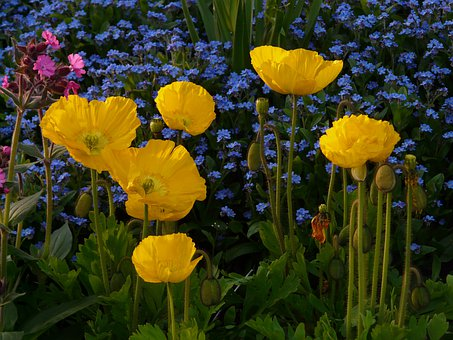 Iceland Poppy, Flower, Blossom, Bloom, Yellow, Plant