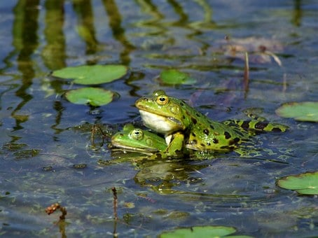 Frog, Frogs, Amphibians, Pairing, Sex, Love, Lovers