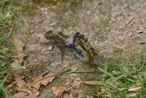 Dragonfly, Sex, Insect, Creature, Meadow, Propagating