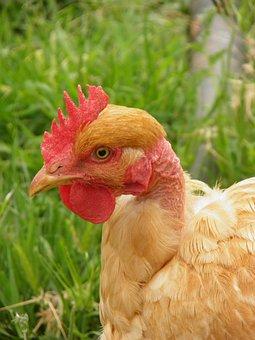 Chicken, Naked Neck Chicken, Turken, Poultry, Bird
