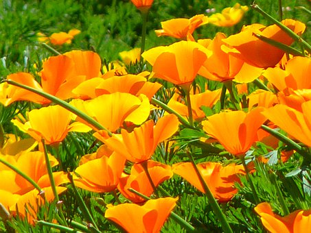 Iceland Poppy, Papaver Nudicaule, Naked Stalks Poppy