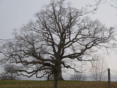 Oak, Spring, Tree, Naked, Branches, Nature, Branch