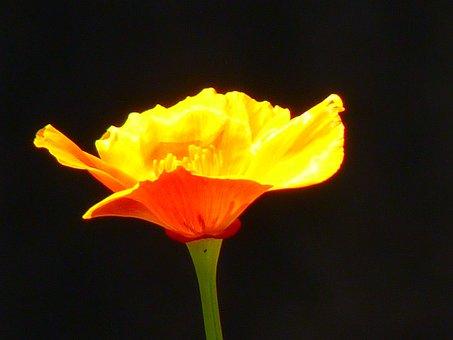 Iceland Poppy, Papaver Nudicaule, Naked Stalks Poppy