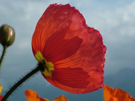 Iceland Poppy, Papaver Nudicaule, Poppy