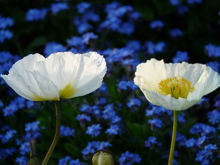 Iceland Poppy, Flower, Blossom, Bloom, White, Plant