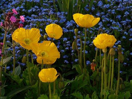 Iceland Poppy, Flower, Blossom, Bloom, Yellow, Plant
