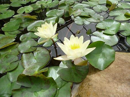 Photographic Background, Water, Lily, Summer, Pond