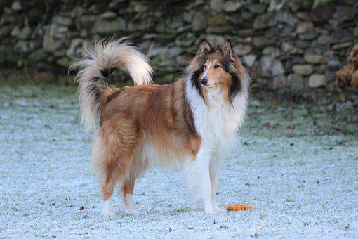 Rough Collie, Dog, Frost, Lassie, Adorable, Countryside