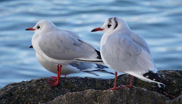 Gulls, Birds, Coast, Seagulls, Sea Birds, Animals