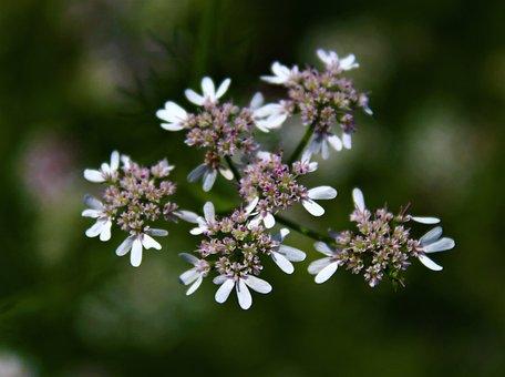 Coriander, Flowers, Nature, Sapling, Herb, Green, Cook