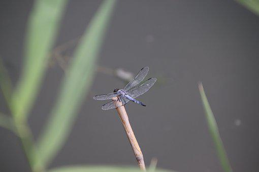Dragonfly, Insect, Stem, Animal, Wings, Plant, Pond