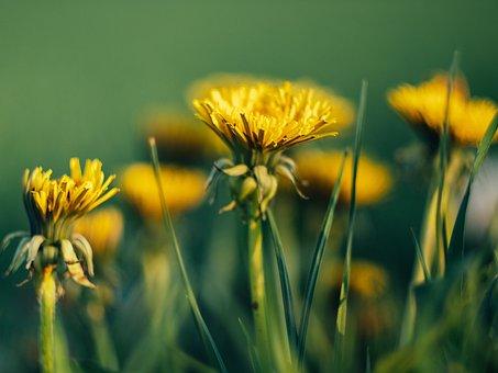 Flowers, Dandelions, Field, Meadow