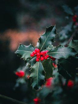 Holly, Berries, Tree, Christmas, Decoration, Xmas