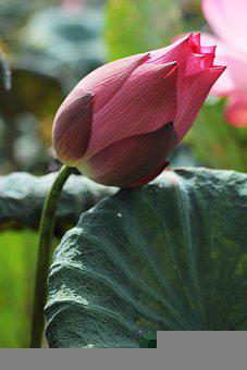 Lotus, Flower, Bud, Water Lily, Lotus Flower