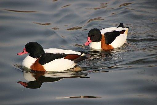 Merganser, Birds, Ducks, Waterfowls, Water Birds