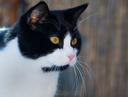 Cat, Domestic Cat, Black, White, Head, Close Up, Pet