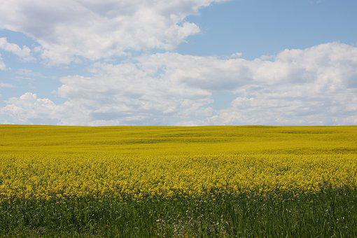 Rapeseed, Flowers, Field, Plants, Horizon, Sky, Clouds