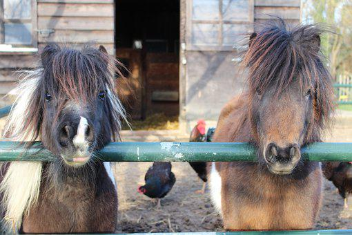 Shetlander, Pony, Stable, Mini Horse