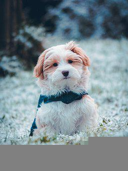 Havanese, Dog, Puppy, Pet, Animal, Small, Young Dog