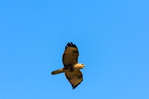 Harrier, Sparrow Hawk, Birds
