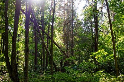 Trees, Forest, Scenic, Summer, Light