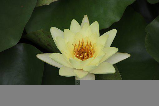Lotus, Yellow Flower, Plant, Water Lily, Aquatic Plant
