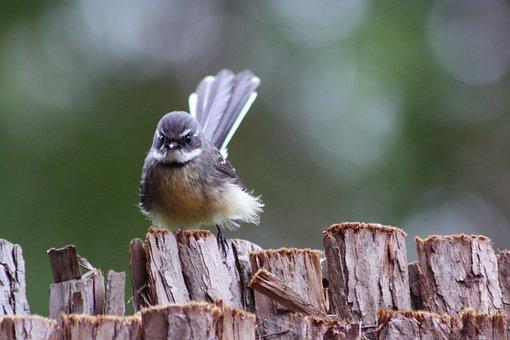 Grey Fantail, Bird, Perched, Wood, Animal, Wildlife