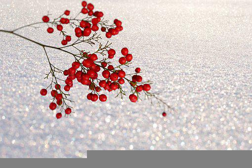 Berries, Branch, Snow, Nature, Plant, Winter