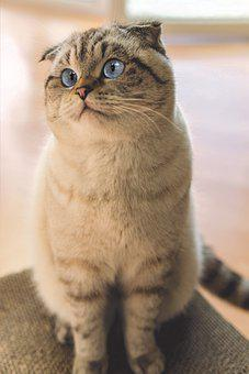 Scottish Fold, Cat, Pet, Animal, Domestic Cat, Feline