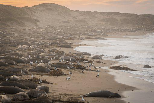 Animal, San Simeon, Beach, California, Elephant Seals
