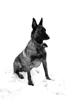 Malinois, Dog, Guard, Security, Working, Military