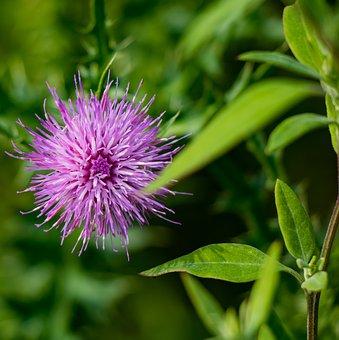 Flower, Dandelion, Flora, Pink, Nature, Spring, Garden
