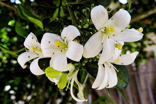 Murraya Paniculata, Murta De Cheiro - Dama Da Noite, 8