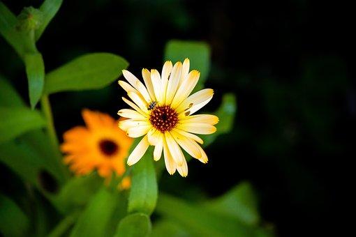Calendula, Flower, Medicinal, Orange, Petals, Blossom