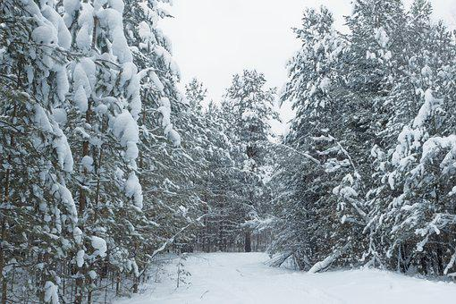 Winter, Winter Forest, Loneliness, Snow, Cold, Tree