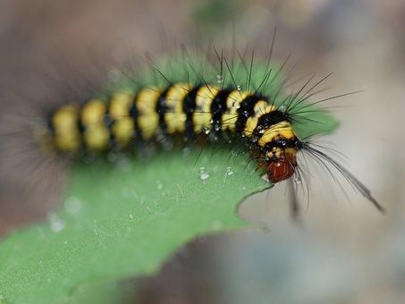 Caterpillar, Hairy Caterpillar, Yellow, Black, Striped