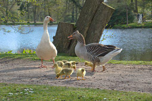 Geese, Goslings, Bank, Lake, Family, Young Animals