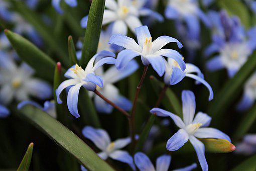 Star Hyacinth, Flowers, Plant, Petals, Blue Flowers