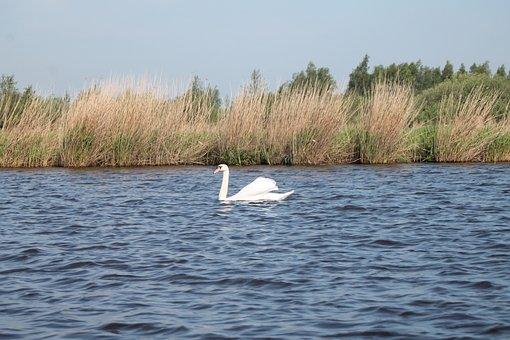 Swan, Ditch, Reed Collar, Friesland, Air, Horizon