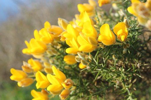 Gorse, Flowers, Plant, Ulex Europaeus, Magnoliophyta