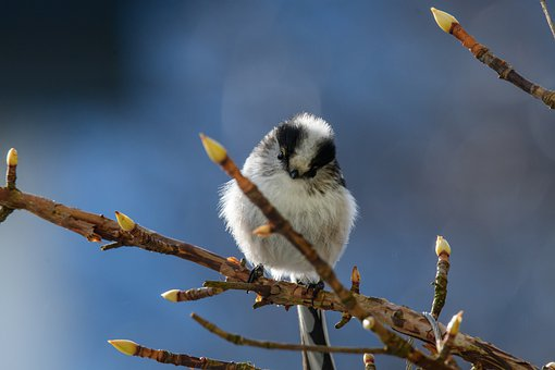 Long Tailed Tit, Bird, Branch, Perched