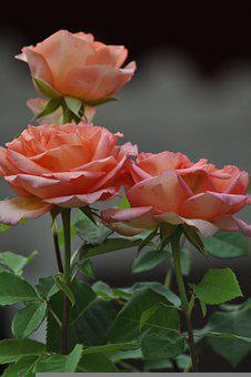 Roses, Flowers, Plants, Bush, Petals, Rose Bloom