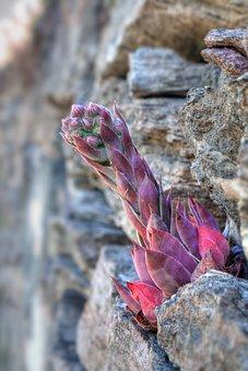 Plant Succulents, Semprevivo, Alpine Flora, Macro