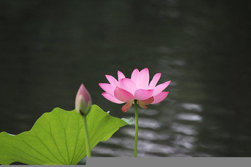 Lotus, Flower, Plant, Bud, Leaf, Water Lily, Petals