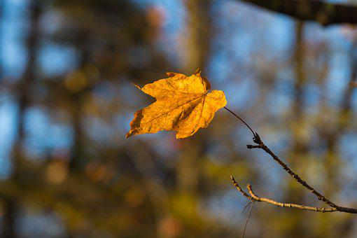 Maple, Leaf, Fall, Branch, Autumn, Tree, Plant, Forest
