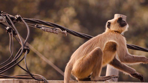 Monkey, Wildlife, Nature, Primate, Monkeys, Mammal, Ape